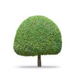 De boom van de Fukienthee [Carmona retusa (Vahl) Masam ] geïsoleerd op wit Royalty-vrije Stock Foto