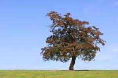 De boom van de haagdoorn Stock Foto's
