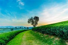 De boom van de hartvorm met het landschap van de theeaanplanting royalty-vrije stock foto
