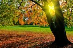 De boom van de herfst in een park bij zonsondergang stock foto's