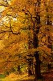 De boom van de herfst in het bos Royalty-vrije Stock Afbeelding