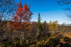 De boom van de herfst Vector beschikbare illustratie Stock Foto