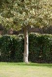 De boom van de hulst voor haag Stock Foto