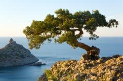 De boom van de jeneverbes Royalty-vrije Stock Fotografie