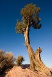 De boom van de jeneverbes Stock Foto