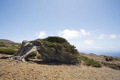 De boom van de jeneverbes die door de het verdragen wind, Gr Hierro wordt gebogen Royalty-vrije Stock Afbeelding