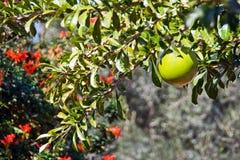 De boom van de kalebasboom Stock Foto