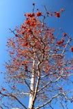 De boom van de kapok of ceiba Bombax royalty-vrije stock foto's