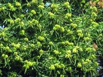 De boom van de kastanje royalty-vrije stock afbeelding