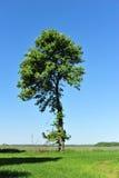 De boom van de kastanje Stock Foto