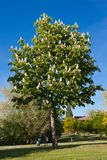 De boom van de kastanje stock fotografie