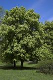 De boom van de kastanje Royalty-vrije Stock Foto's