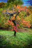 De boom van de kastanjesherfst Stock Foto's