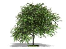 De boom van de kers Royalty-vrije Stock Foto's
