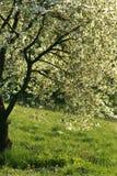 De boom van de kers Royalty-vrije Stock Foto