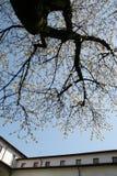 De boom van de kers Stock Fotografie