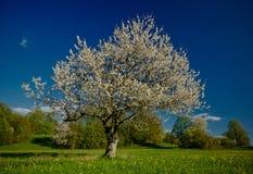 De boom van de kers stock afbeelding