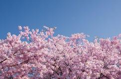 De boom van de kers in bloei Stock Foto