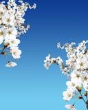 De boom van de kers in bloesem stock foto's