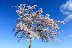 De boom van de kers in bloesem royalty-vrije stock fotografie