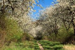 De boom van de kers in de lente Stock Afbeelding