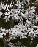 De boom van de kers in de lente Stock Foto's