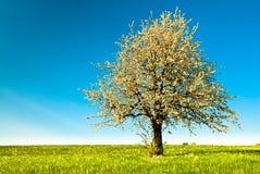 De boom van de kers in de lente stock afbeeldingen