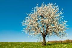 De boom van de kers in de lente royalty-vrije stock afbeeldingen