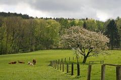 De boom van de kers in de lente, Duitsland Stock Afbeelding