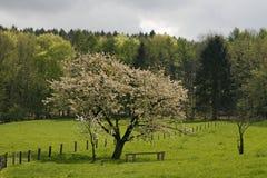 De boom van de kers in de lente, Nedersaksen, Duitsland Stock Afbeeldingen