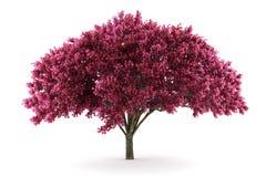 De boom van de kers die op witte achtergrond wordt geïsoleerdi Royalty-vrije Stock Afbeeldingen