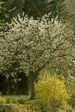 De boom van de kers in Hagen, Duitsland Stock Fotografie