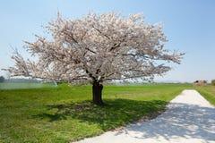 De boom van de kers met bloesem royalty-vrije stock afbeeldingen
