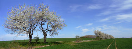 De boom van de kers - panorama Royalty-vrije Stock Foto's