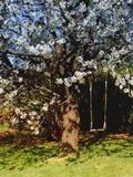 De boom van de kers whith een schommeling. Stock Foto