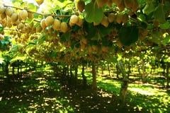 De boom van de kiwi Stock Foto