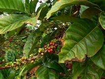 De boom van de koffie Royalty-vrije Stock Fotografie