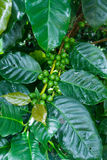De boom van de koffie met groene koffiebonen Stock Afbeeldingen