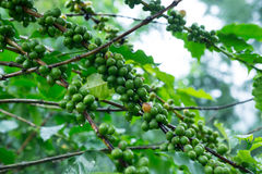De boom van de koffie met groene koffiebonen op de tak Royalty-vrije Stock Afbeeldingen