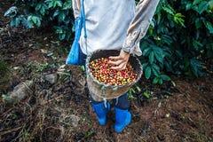 De boom van de koffie met rijpe bessen op landbouwbedrijf Stock Afbeelding