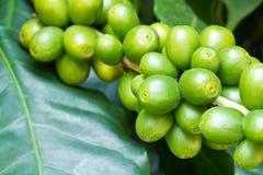 De boom van de koffie met ruwe berries2 Royalty-vrije Stock Foto's