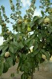 De boom van de kweepeer Royalty-vrije Stock Foto's