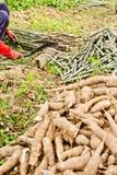 De boom van de landbouwers scherpe maniok royalty-vrije stock foto