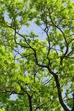 De boom van de lente Stock Afbeelding