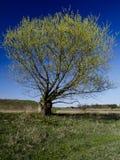 De boom van de lente tegen blauwe hemel Royalty-vrije Stock Afbeeldingen