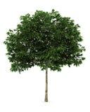De boom van de lijsterbes die op witte achtergrond wordt geïsoleerd. Royalty-vrije Stock Foto's