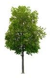 De boom van de linde Royalty-vrije Stock Afbeelding