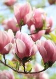 De boom van de magnolia royalty-vrije stock afbeeldingen