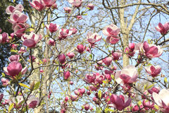 De boom van de magnolia Stock Foto's