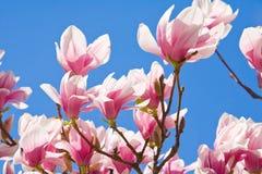 De Boom van de magnolia royalty-vrije stock fotografie